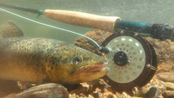 Fishing for brown trout in the Jaut-Rhin in Alsace in 2020. & nbsp;