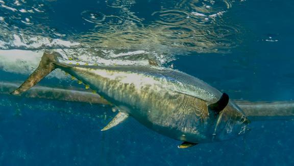 Bluefin tuna photographed in Valletta, Malta. & Nbsp;