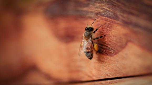 Μέλισσα σε μια μέλισσα σε μια θαμνώδη περιοχή, σε ένα βιοδυναμικό αγρόκτημα, χωρίς φυτοφάρμακα ή νεονικοτινοειδή.  Το Cornontrell στο Herald στις 28 Νοεμβρίου 2020.