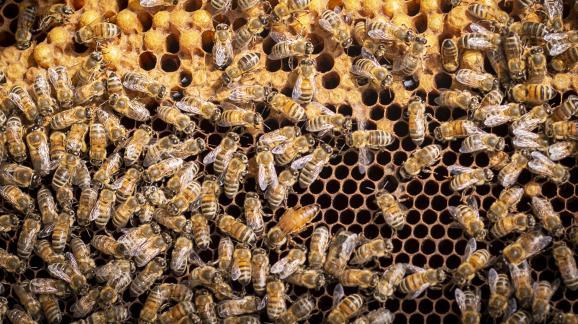 Κλείστε τις μέλισσες και τη βασίλισσα και το κερί σε ένα πλαίσιο κυψέλης στις 17 Μαΐου 2021 στην Τουλούζη.