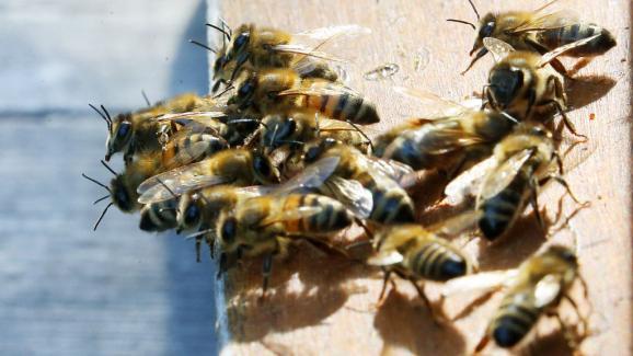 Λέγεται ότι εάν οι μέλισσες εξαφανιστούν από το πρόσωπο της γης, οι άνθρωποι θα έχουν μόνο τέσσερα χρόνια για να ζήσουν ...