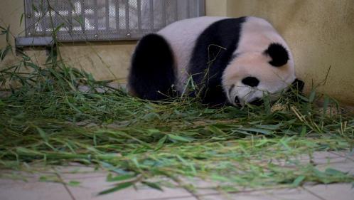 VIDEO. Zoo de Beauval : deux bébés pandas vont bientôt voir le jour