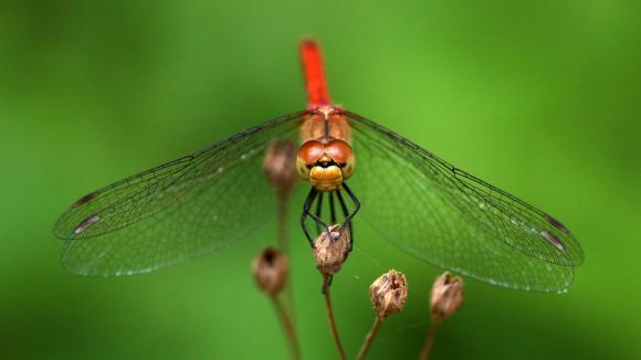 Une libellule (Sympetrum sanguineum). Photo d\'illustration.