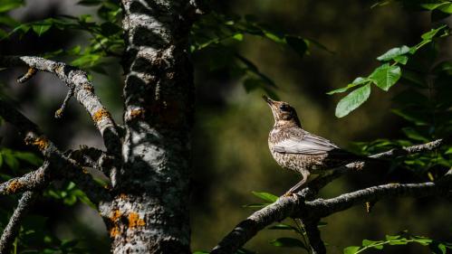 """En août, le Conseil d'Etat annulait plusieurs autorisations de chasse d'oiseaux délivrées par le ministère de la Transition écologique jugeant qu'elles n'étaient """"pas conformes aux exigences du droit européen relatif à la protection des oiseaux""""."""