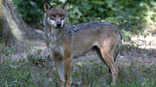 Une louve a été retrouvée pendue devant la mairie de Saint-Bonnet-en-Champsaur (Hautes-Alpes) ce vendredi 24 septembre.