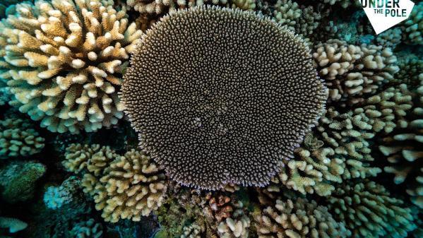 A la recherche du corail mésophotique en Polynésie française