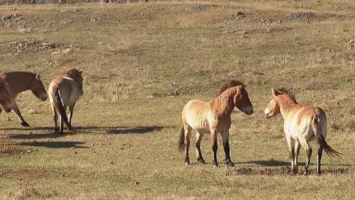 Les gorges de laJonte, situées à la frontière entre la Lozère et l'Aveyron, referment de nombreuses merveilles.Entre chevaux sauvages et falaises vertigineuses, elles sont le paradis des amoureux de la nature.