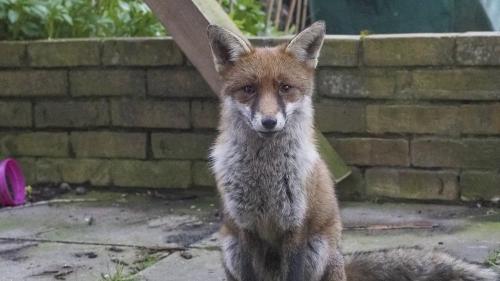 Les renards sont de plus en plus présents en milieu urbain en France.Les chasseurs craignent leur prolifération, alors que plusieurs poules ont déjà été tuées par l'animal.