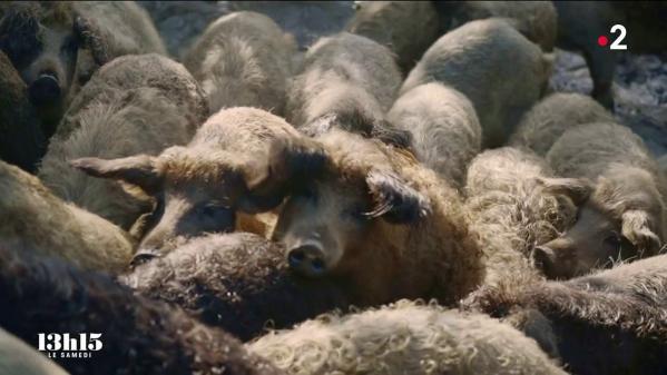 """Sa viande savoureuse est aujourd'hui recherchée par les grands cuisiniers. Et pourtant ce cochon laineux d'origine hongroise à failli disparaître de la surface du globe. Astrid a décidé un jour de changer de vie pour se consacrer à son élevage… Extrait du magazine """"13h15 le samedi"""" du 23 octobre 2021."""