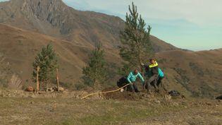 Des pins sylvestres replantés sur le domaine skiable de Saint-Lary, Hautes-Pyrénées. (CAPTURE D'ÉCRAN FRANCE 3)
