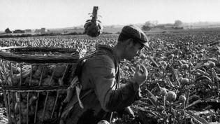 """""""Récolte des artichauts"""". Lomic, ouvrier à la ferme d'Yves Keramouel, Saint Pol de Léon. Samedi 2 juin 1973. © Guy le Querrec / Magnum Photos  (Culturebox / Capture d'écran)"""