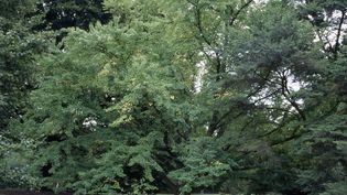Arbre au caramel, que les botanistes appellent Cercidiphyllum Japonicum. (DEA / RANDOM / DE AGOSTINI EDITORIAL / GETTY IMAGES)