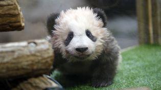 """Yuan Meng lors de sa """"cérémonie du nom"""", au zoo de Beauval (Loir-et-Cher), le 4 décembre 2017. (THIBAULT CAMUS / AFP)"""