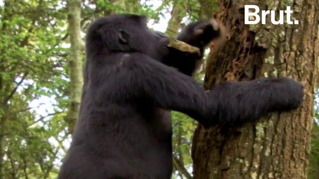 Il s'appelait Rafiki, c'était l'un des gorilles les plus célèbres d'Ouganda. Le mardi 2 juin 2020, il a été retrouvé mort, son abdomen percé par un objet tranchant...