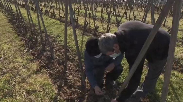 Viticulture : le gel ravage les vignobles. (FRANCE 2)