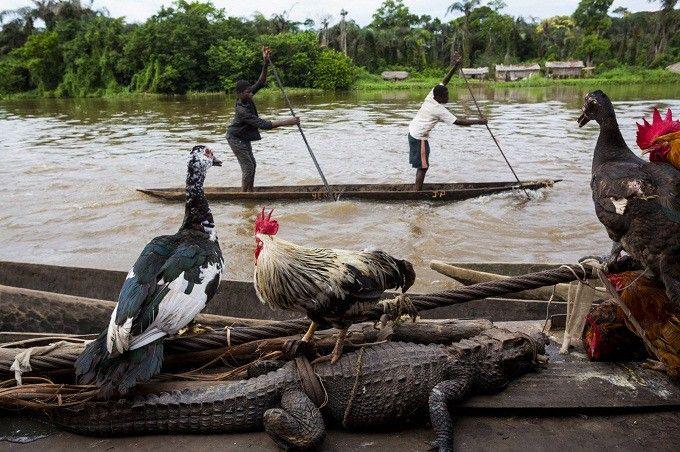 La vie à bord du bateau JCM-Services (Jésus-Christ Merveilleux Services) et sur la rive du fleuve après Mbandaka, 100 km avant Lisala. Les gens du village viennent vendre crocodiles (25 dollars), poulets, canards, et acheter des marchandises.  (Pascal Maitre / Cosmos / National Geographic Magazine)