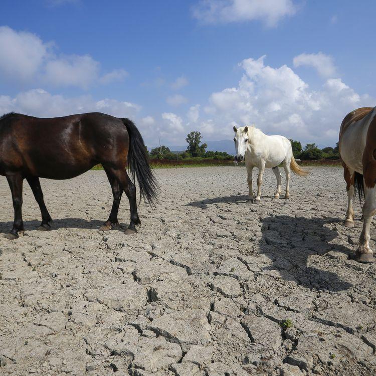 Des chevaux sur une terre desséchée près deBastelicaccia (Corse-du-Sud), le 27 juin 2017. (PASCAL POCHARD-CASABIANCA / AFP)