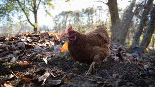 Des poules en Dordogne, le 27 novembre 2020. (ROMAIN LONGIERAS / HANS LUCAS / AFP)
