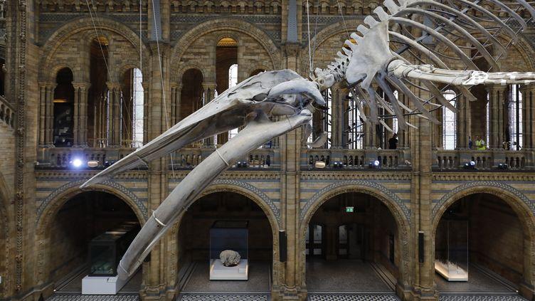 Hope, une baleine bleue exposée au Musée d'histoire naturelle de Londres  (Tolga AKMEN / AFP)