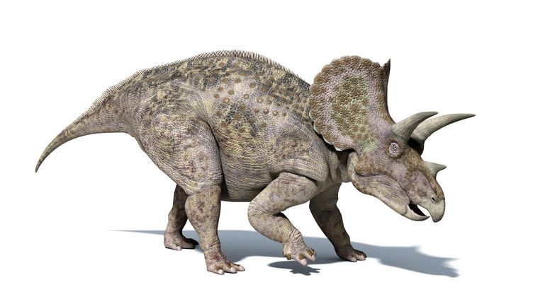 L'ancêtre du tricératops mesurait environ un mètre de la tête à la queue, pour 25 cm de large. (LCL / AFP)