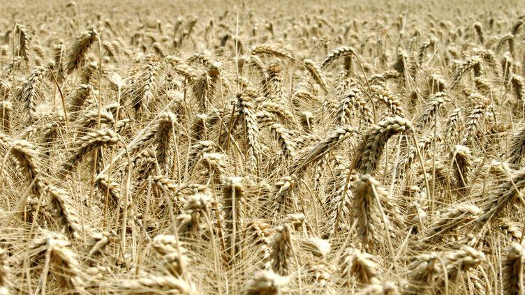 Un champs de blé (non OGM) en France, en 2007. (MYCHELE DANIAU / AFP)