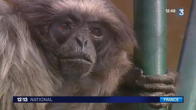Lulu, un singe qui défie la vieillesse