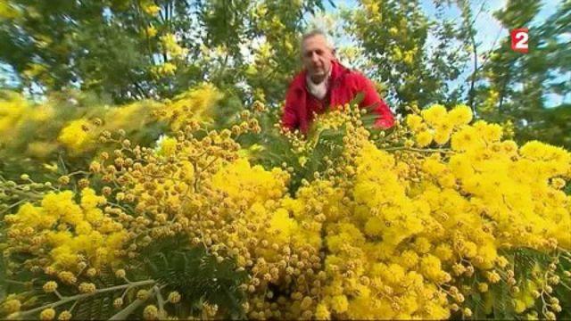 Mimosa : l'autre soleil de Provence