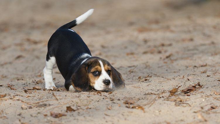 Ce beagle à l'air malicieux remue la queue à gauche, mais n'a pas l'air si anxieux. (HANS SURFER /FLICKR / GETTY IMAGES)