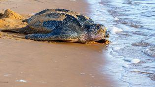 Une tortue luth photographiée en juillet 2019 sur la plage de Remire-Montjoly, en Guyanne Française. (JODY AMIET / AFP)
