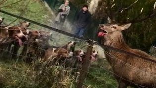 Plusieurs incidents mettant en cause des chasseurs à courre ont créé un vague mouvement de protestation contre cette pratique que beaucoup jugent barbare. (FRANCE 2)
