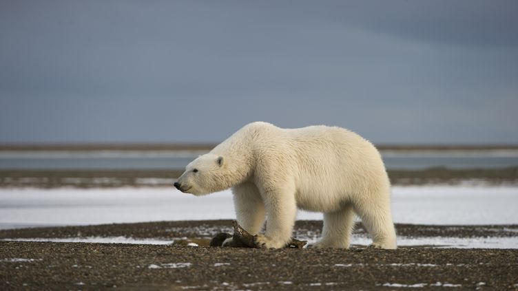 Un ours polaire sur l'île Wrangel (Russie), dans l'océan arctique. (SERGEY GORSHKOV / MINDEN PICTURES / AFP)