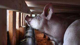 Un cochon dans un avion en Bretagne, en direction de la Chine, le 10 mars 2020. (FRED TANNEAU / AFP)