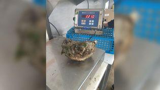 L'ostréiculteur Pierre-Alexandre Morvana remonté une huître de 2,2 kg, dans l'estuaire de la Penzé, dans le Finistère. (ALAIN MORVAN / DR)