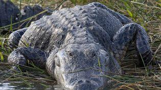 Un alligator dans le parc national des Everglades en Floride (Etats-Unis) le 27 août 2014. (DONALD M. JONES / MINDEN PICTURES / AFP)
