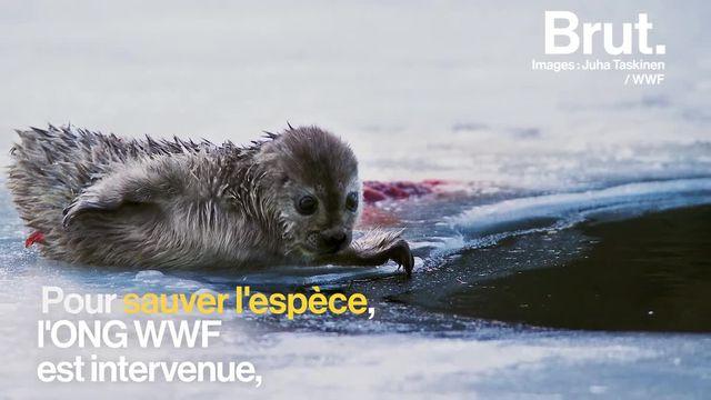 Le réchauffement climatique tue les phoques du lac Saimaa, en Finlande, à petit feu. Alors, ces hommes font tout pour les sauver.