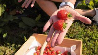 C'est la saison des fraises. Pour les payer moins cher, de nombreuses fermes proposent de venir les cueillir soi-même. (FRANCE 2)