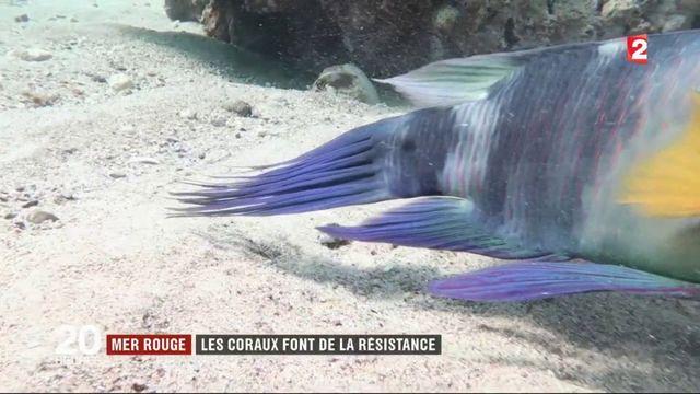Environnement  : l'incroyable résistance des coraux du golfe d'Aqaba