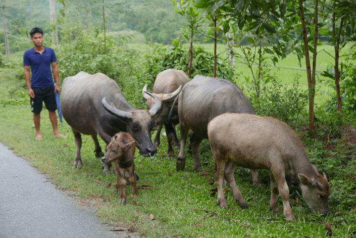 Scène de la vie quotidienne près du village. Xom Hai vit de l'élevage et de la culture du riz. (EMMANUEL LANGLOIS)