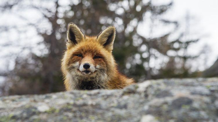 Un renard en Italie. (DELTA IMAGES / IMAGE SOURCE)