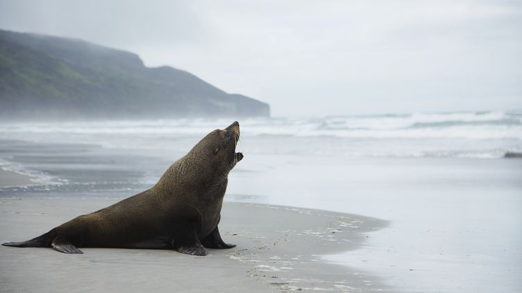 Un lion de mer sur une plage de Nouvelle-Zélande, le 18 mars 2014. (MOOF / CULTURA CREATIVE / AFP)