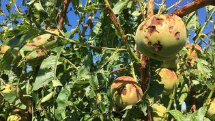 Les arbres fruitiers d'un l'arboriculteurde Chagnon (Loire) ont été durement touchés par la grêle lors les oragesau début du moisd'août 2019. (GUILLEMETTE FRANQUET / FRANCE-BLEU SAINT ETIENNE LOIRE)