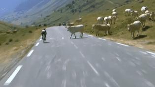 Un troupeau de vaches a traversé la route sans crier gare, mercredi 15 juillet 2015, lors de la 11e étape du Tour de France. (FRANCE TELEVISIONS)