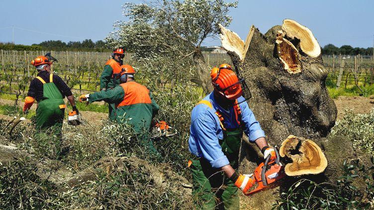 Destruction d'oliviers contaminés par la bactérie Xylella fastidiosa à Oria, dans le sud de l'Italie, le 13 avril 2015. (AGF EDITORIAL / SIPA)