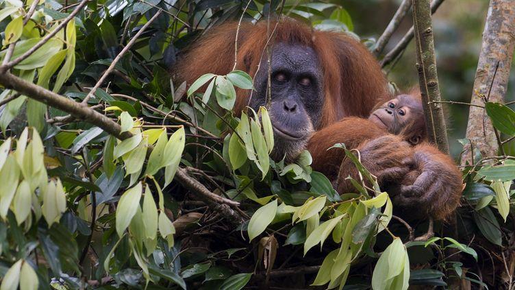 Une orang-outan et son petit en voie de disparition en Indonésie en avril 2013. (ROMEO GACAD / AFP)
