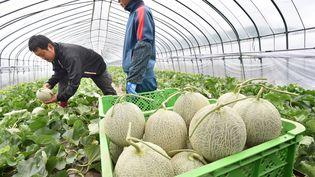 Des maraîchers cueillent des melons Yubari dans la ville éponyme, au Japon, le 21 mai 2015. (TETSU JOKO / YOMIURI /AFP)