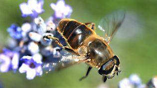 Les abeillessont désormais considérées comme espèce en voie de disparition auxÉtats-Unis... (PASCAL BROCARD / MAXPPP)