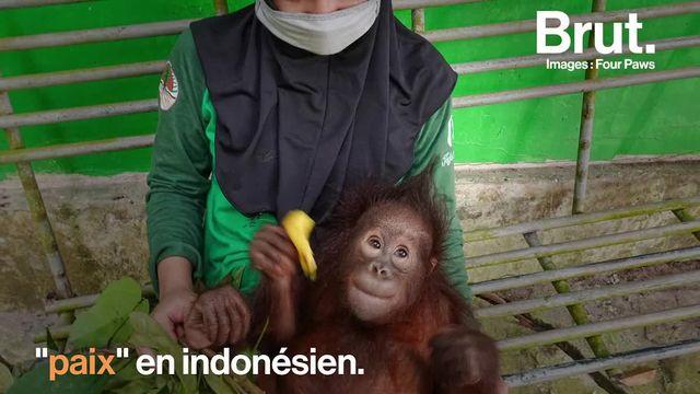 Un homme s'apprêtait à l'abandonner, mais grâce à l'association Four Paws,  bébé orang-outan a pu être sauvé. Au refuge où il est soigné, le petit Damai va devoir apprendre les compétences nécessaires à la vie sauvage...