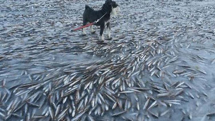 Le Norvégien Ingolf Kristiansen a posté sur Facebook un banc de poisson gelé sur l'île dede Lovund, en Norvège, le 12 janvier 2014. (INGOLF KRISTIANSEN / FACEBOOK)