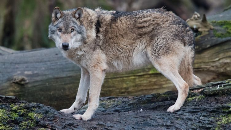 Un loup gris (Canis lupus lupus) à Springe, en Basse-Saxe, en Allemagne, le 5 février 2019. (JULIAN STRATENSCHULTE / DPA / AFP)