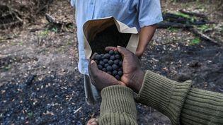 Un ranger de l'organisation Mara Elephant project va disperser des dizaines de graines d'acacia dans une zone de la forêt du Masaï Masa au Kenya victime du travail des charbonniers. (TONY KARUMBA / AFP)